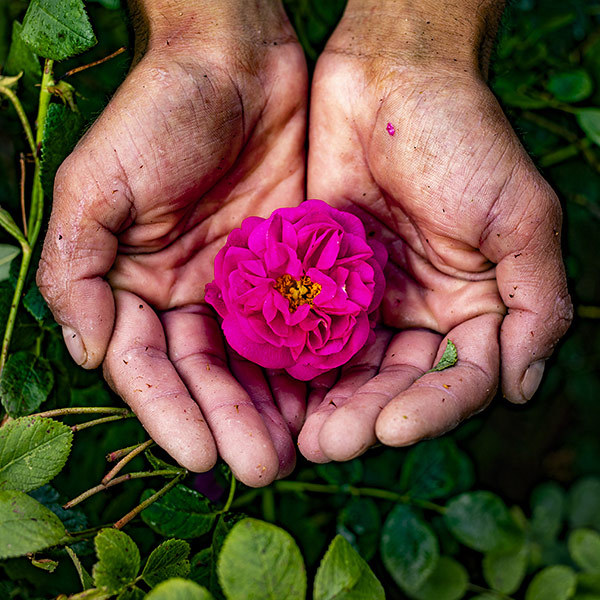 Man hands holding a pink rose in the middle of the nature