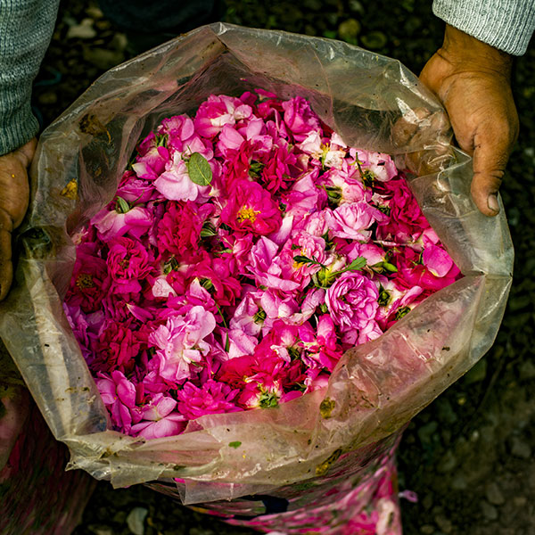 Farmer holding a bag full of natural roses